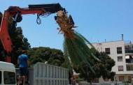 El Ayuntamiento de Bigastro toma medidas para recuperar las palmeras afectadas por el picudo