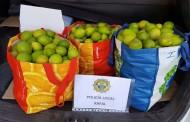 La Policía Local de Rafal recupera 50kg de limones robados